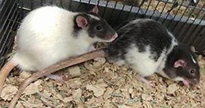 Rat pour nourrir les serpents (rat feeder) ou autre rongeur