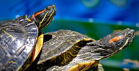Red Ear Slider (Trachemys Scripta Elegans) Turtles