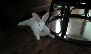 """Young Female Rabbit - New Zealand: """"Pepper"""""""