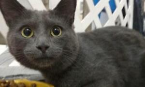 "Young Male Cat - Domestic Short Hair (Gray): ""Gris-Fon"""