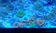 Saltwater Coral