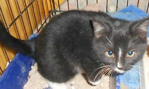 "Young Male Cat - Domestic Short Hair-Tuxedo: ""Tre"""