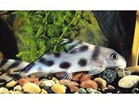 Beautiful Clown Catfish for sale - live tropical fish