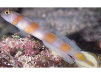 MARINE FISH / THIS IS A FLAGTAIL SHRIMP GOBY (Amblyeleotris yanoi )