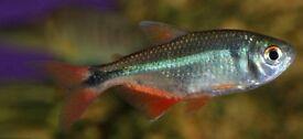 4 fish, buenos aires tetras. Free to a good tank. Tropical fish.