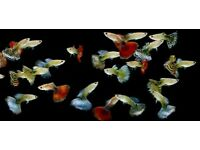 200+ Male / Female Guppy Fish For Sale