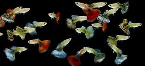 WANTED........ SOME FREE GUPPIES FOR THE GRAND KIDS????