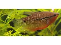 goldfish, golden gourami and pearl gourami for sale
