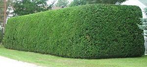 Taille de haie, taille d`arbre Laval Rive Nord *Horticulteur*