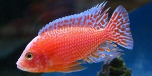 Electric red ,Moba Frontosa  African cichlids for sale moving