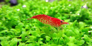 WANTED: Looking for aquarium shrimp in Dunnville area.