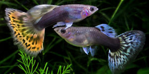 Guppy Fish sale for $1