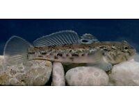 Tropical fish dwarf dragon goby