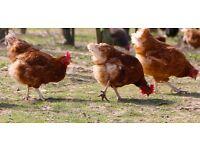 POL Chickens