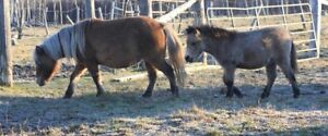 Mini colt and filly.   Mini Mares