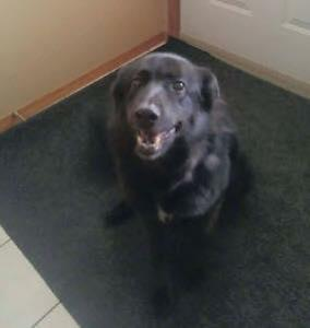 Senior Female  - German Shepherd Dog-Labrador Retriever