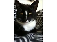 "Missing - our much loved black and white cat ""Badger"""