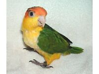 Hand reared Baby Yellow Thighed White Bellied Caiques Talking Parrot