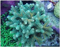 Green Birdsnest Coral - Frags, colonies and mini-colonies