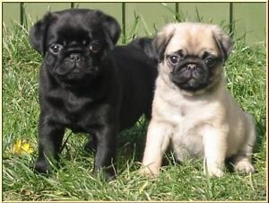 LOOKING  for two beautiful pug puppies