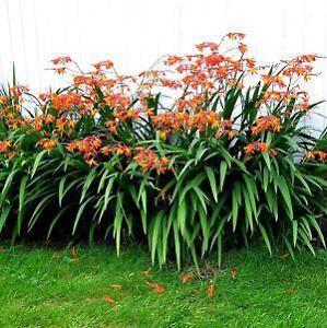 Flower bulbs ebay perennial flower bulbs mightylinksfo