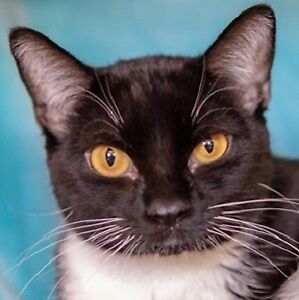 MEOW Foundation's beautiful Marta looking for purrfect family!