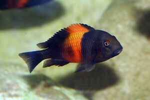 (REDUCED)Young Tropheus Colony *21 Tropheus Bemba Orange Flame* Moose Jaw Regina Area image 1
