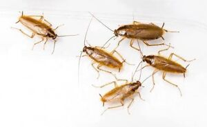 GERMAN COCKROACH SPECIALISTS - GUARANTEED RESULTS !! Maroubra Eastern Suburbs Preview