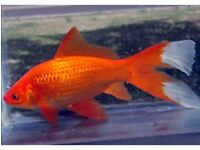 Comet Goldfish for Rehoming