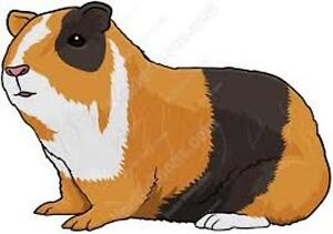 I am Looking for Guinea Pigs to buy