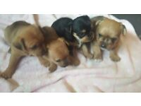 Yorkshire terrier cross chihuahua ( chorkies ) puppy's for sale