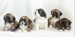 Teddybear Lhasa Apso Puppies