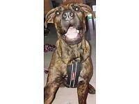 Beautiful Bullmastiff Pup