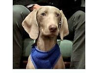 FREE FOR GOOD HOME: 7MONTH OLD WEIMARANER PUP WITH PAPERS