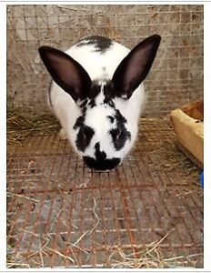 Meat Rabbits & breeder pairs