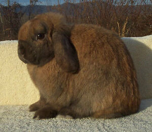 Beautiful Caramel colored Holland Hop needs a new home!