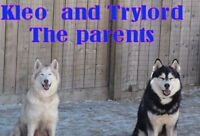 REGISTERED SIBERIAN HUSKY PUPPIES FOR FAMILY ADOPTION