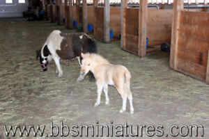 Poulain cheval miniature palomino triple enregistrement en main