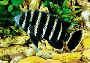 Tilapia and worth cichlid