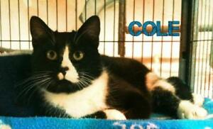 "Adult Male Cat - Domestic Short Hair (Black & White): ""Cole"""