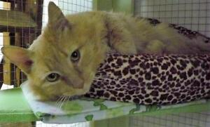 Male Cat - Domestic Long Hair - buff and white-Tabby - Orange