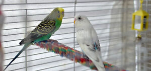 === 3 budgie birds with a cage, food, supplies and accessories