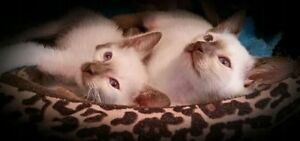 ❤❤MAGNIFIQUES CHATONS SIAMOIS❤BEAUTIFUL SIAMESE KITTENS❤❤