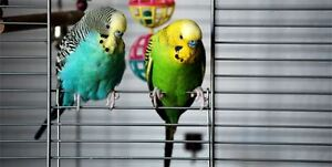 A Pair of Parakeet with White Cage