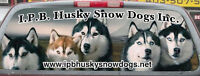 *REGISTERED SIBERIAN HUSKY PUPPIES FOR FAMILY ADOPTION*