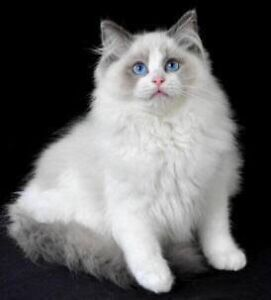 Ragdoll or Persian chinchilla WANTED Bicton Melville Area Preview