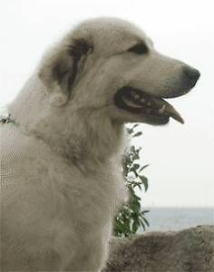 Missing Great Pyrenees