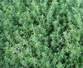 Thyme English Winter plants - Growing in 7cm Pot –Full of Flavour - Cut and Come - from 50p each