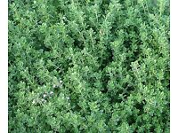 Thyme English Winter - Growing in 7cm Pot –Full of Flavour - Cut and Come - 50p each