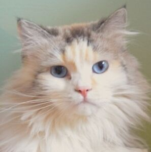 MEOW Foundation's gorgeous Yuki looking for special family!